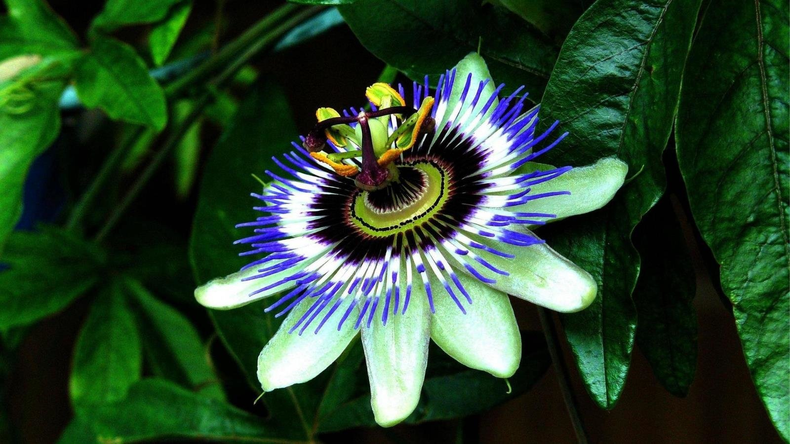 1600x900 - Passion Flower Wallpapers 12