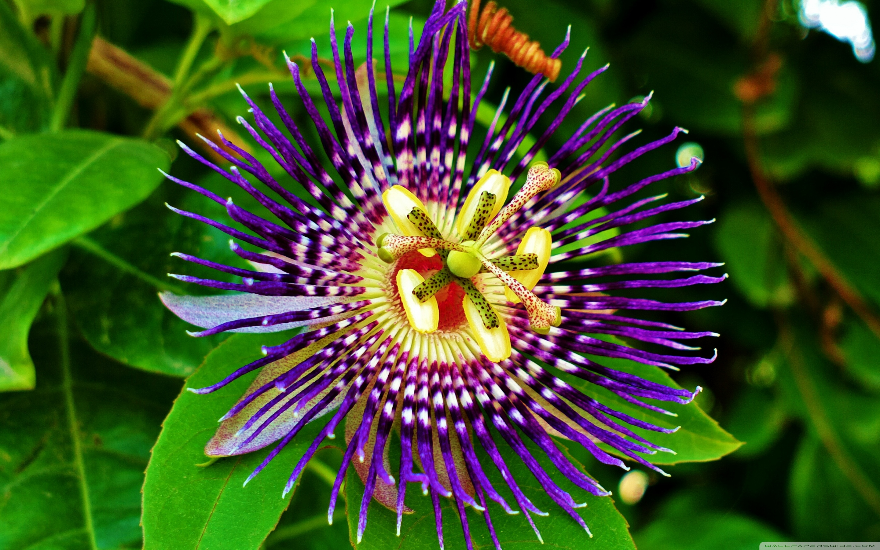 2880x1800 - Passion Flower Wallpapers 4