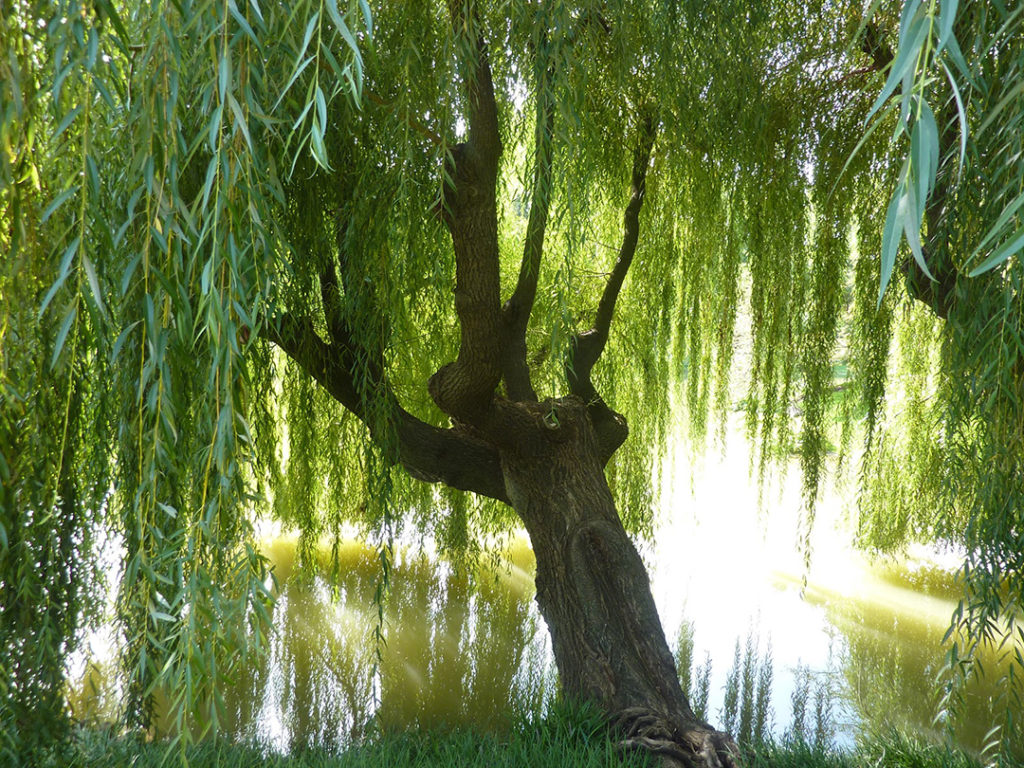 1024x768 - Willow Tree 8