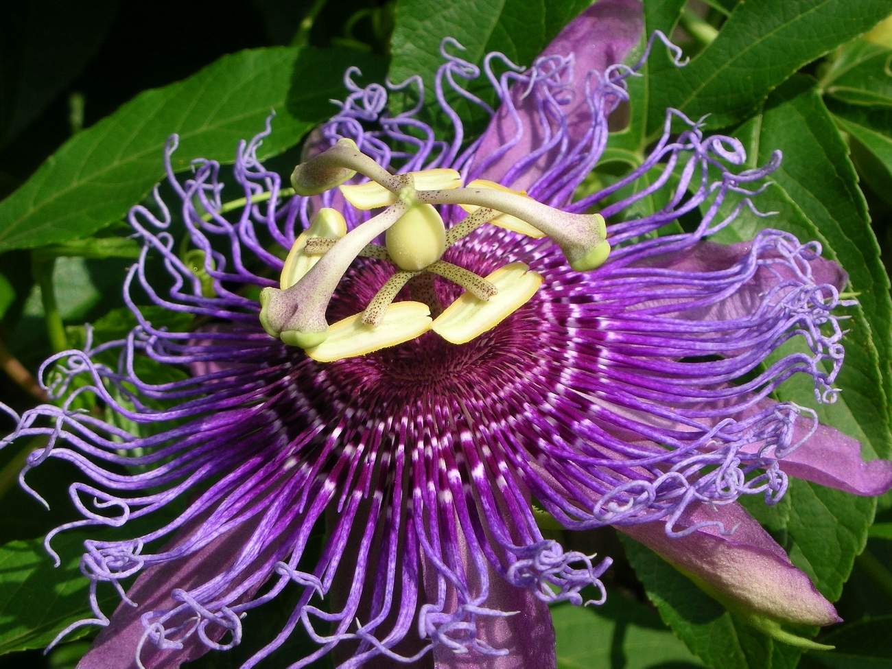 1300x975 - Passion Flower Wallpapers 29