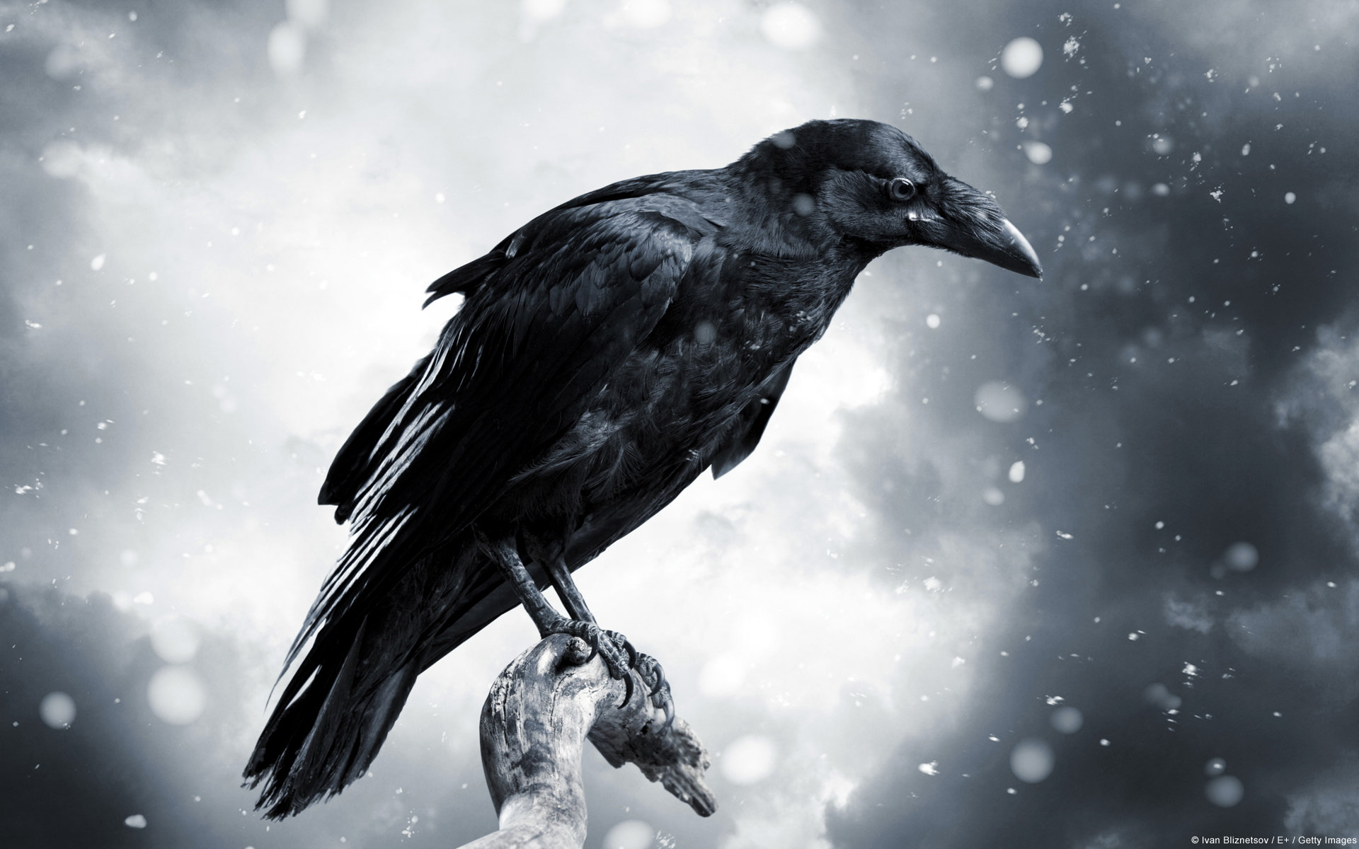 1920x1200 - Raven Wallpapers 17