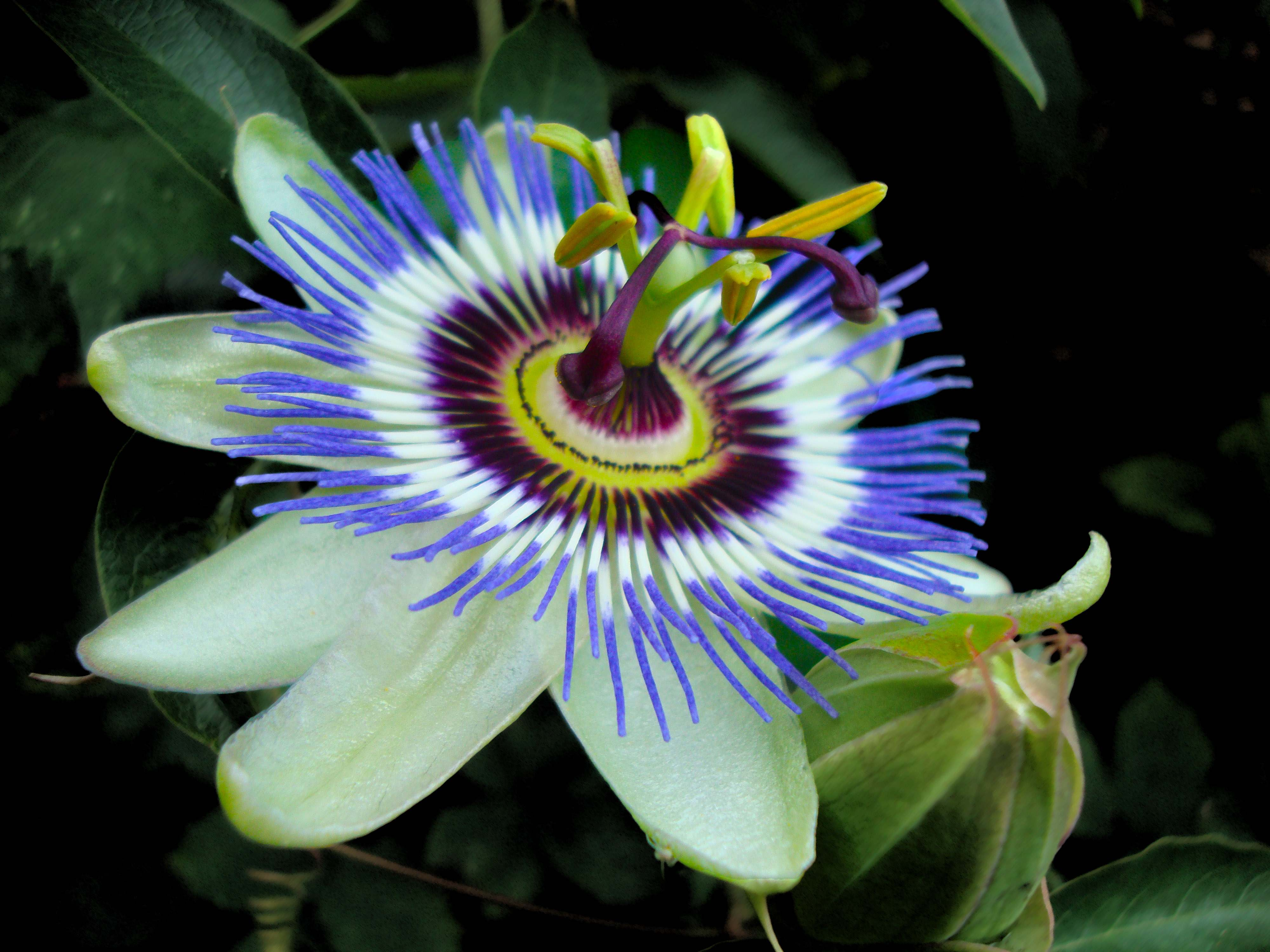4000x3000 - Passion Flower Wallpapers 28