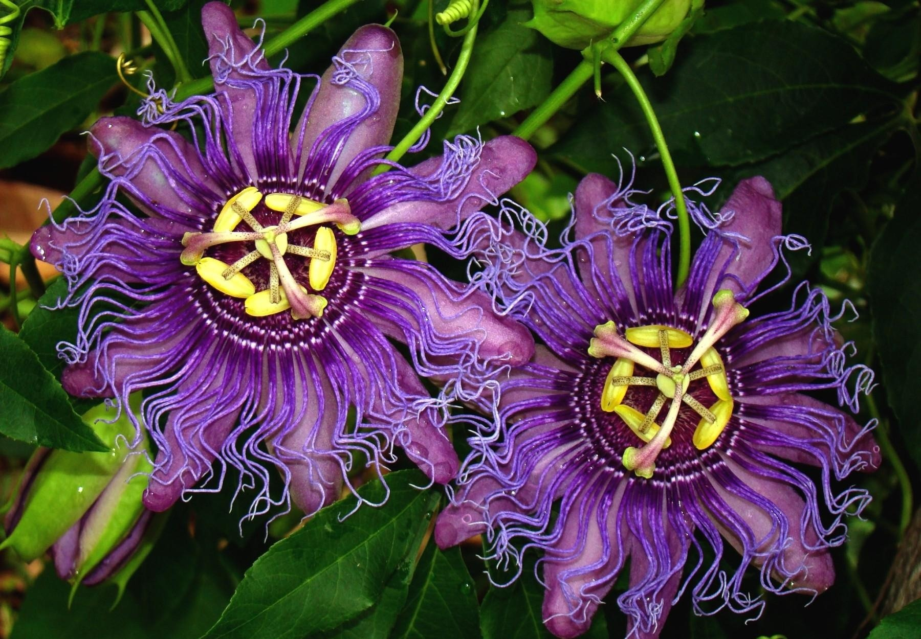 1800x1250 - Passion Flower Wallpapers 7