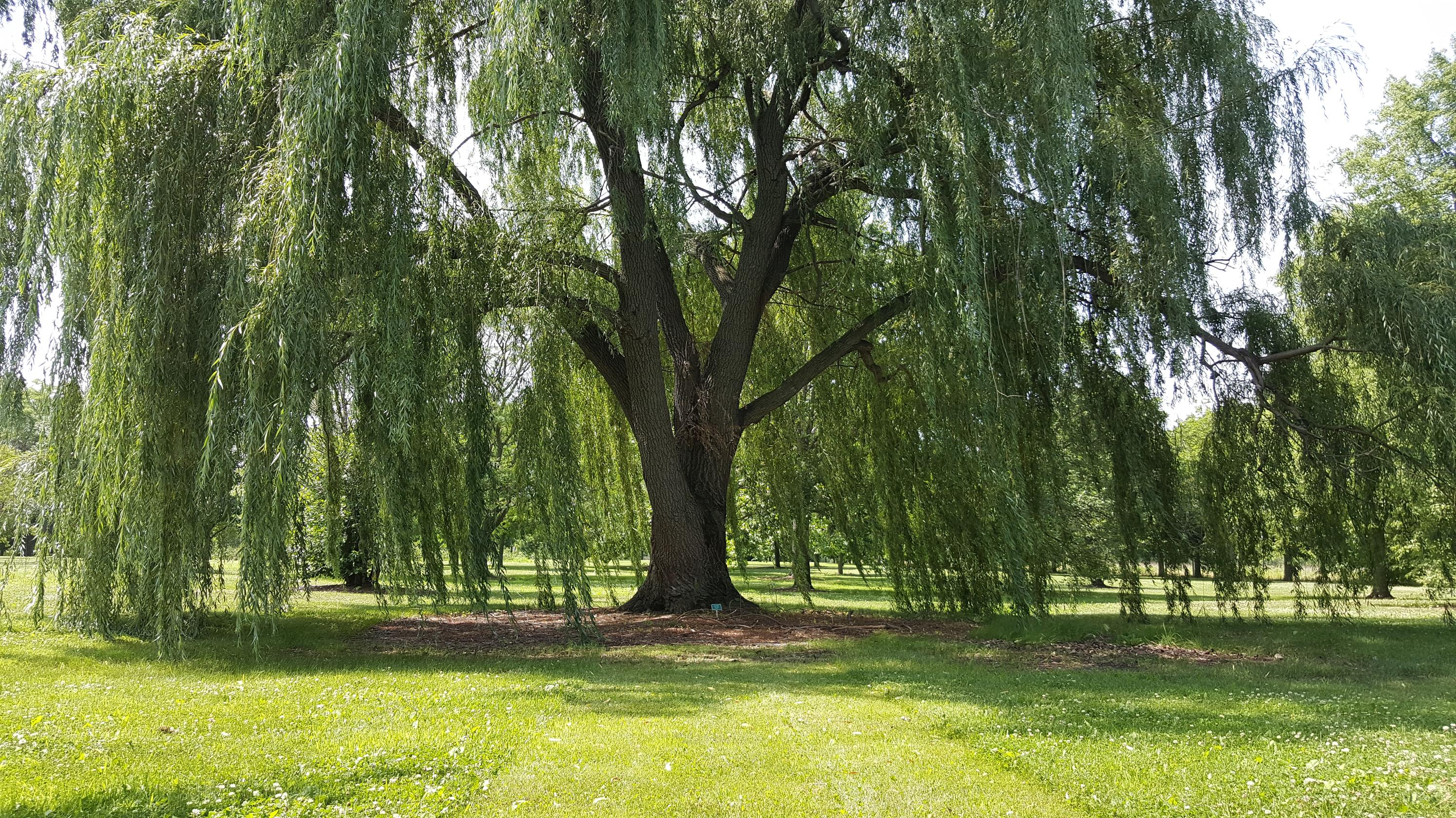 2988x1681 - Willow Tree 2
