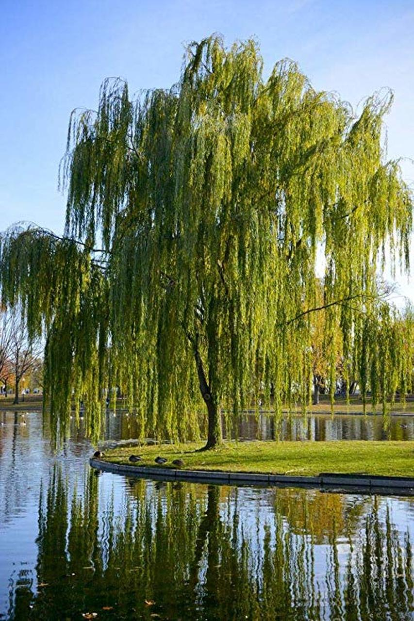 853x1280 - Willow Tree 3