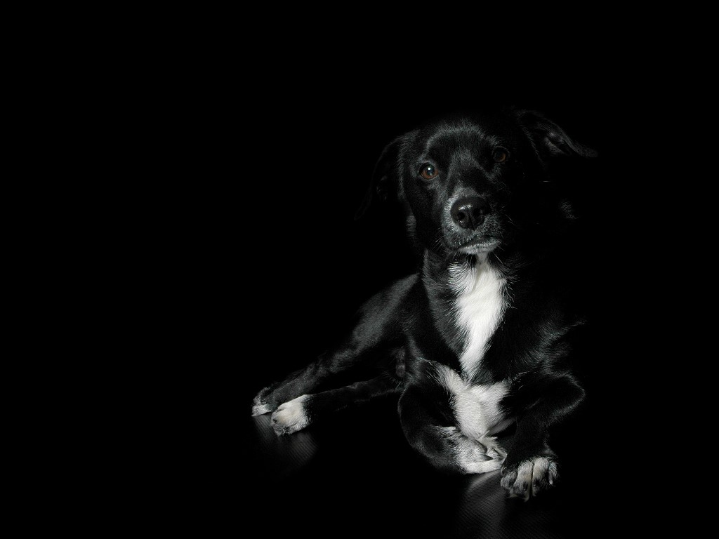1024x768 - Wallpaper Dogs Black and White 11