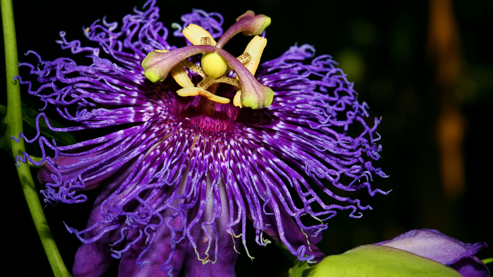 1920x1080 - Passion Flower Wallpapers 1