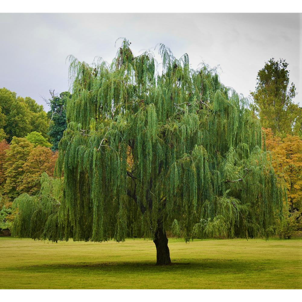 1000x1000 - Willow Tree 9