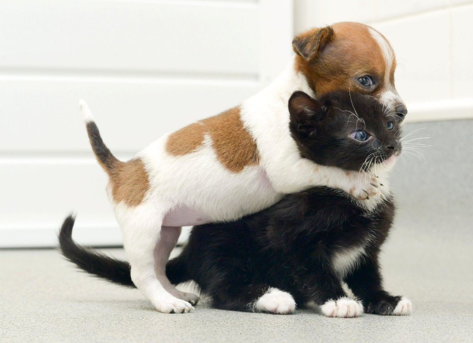 953x692 - Cute Puppy and Kitten 13