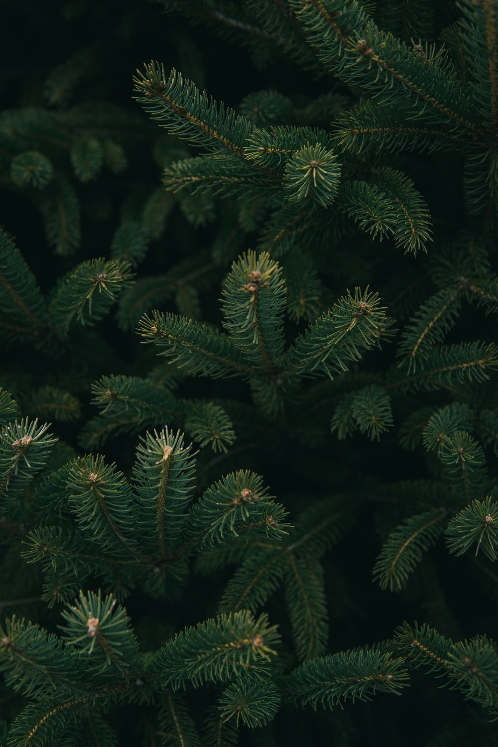 1000x1500 - Christmas Trees Backgrounds 16