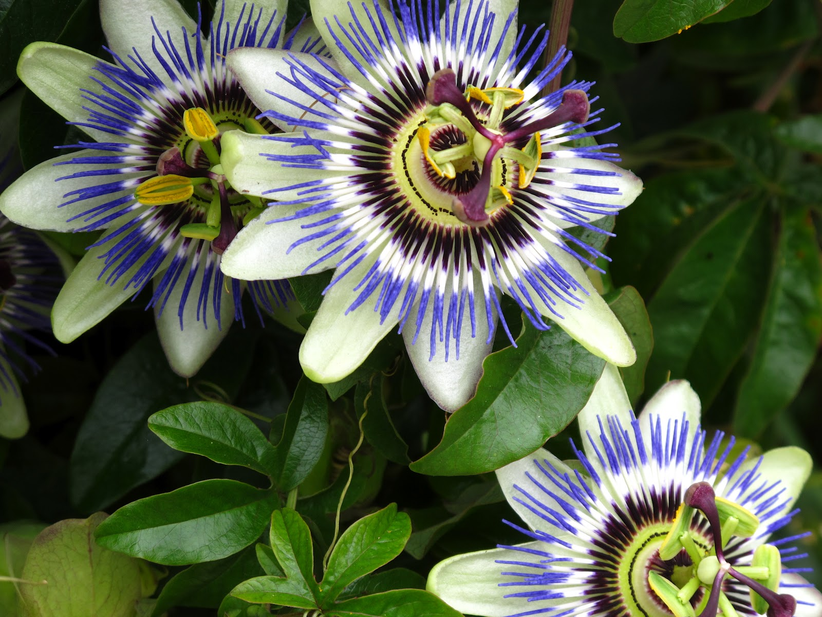 1600x1200 - Passion Flower Wallpapers 10