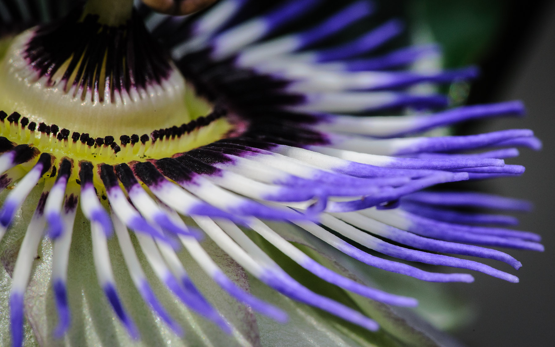 1800x1125 - Passion Flower Wallpapers 6