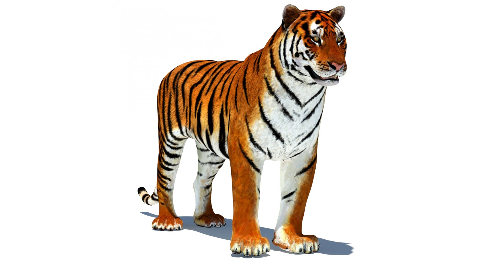 1536x830 - Animated Tiger 5