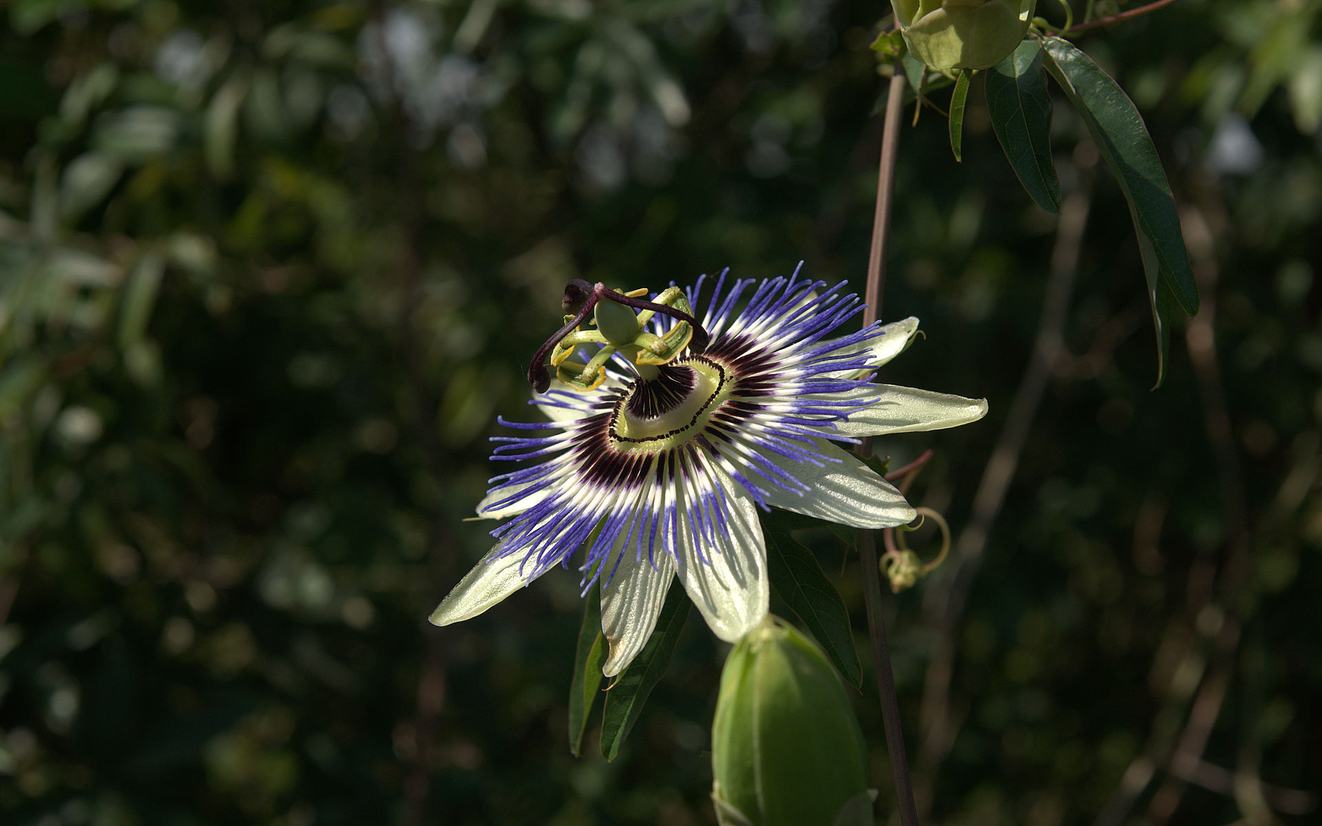1920x1200 - Passion Flower Wallpapers 22