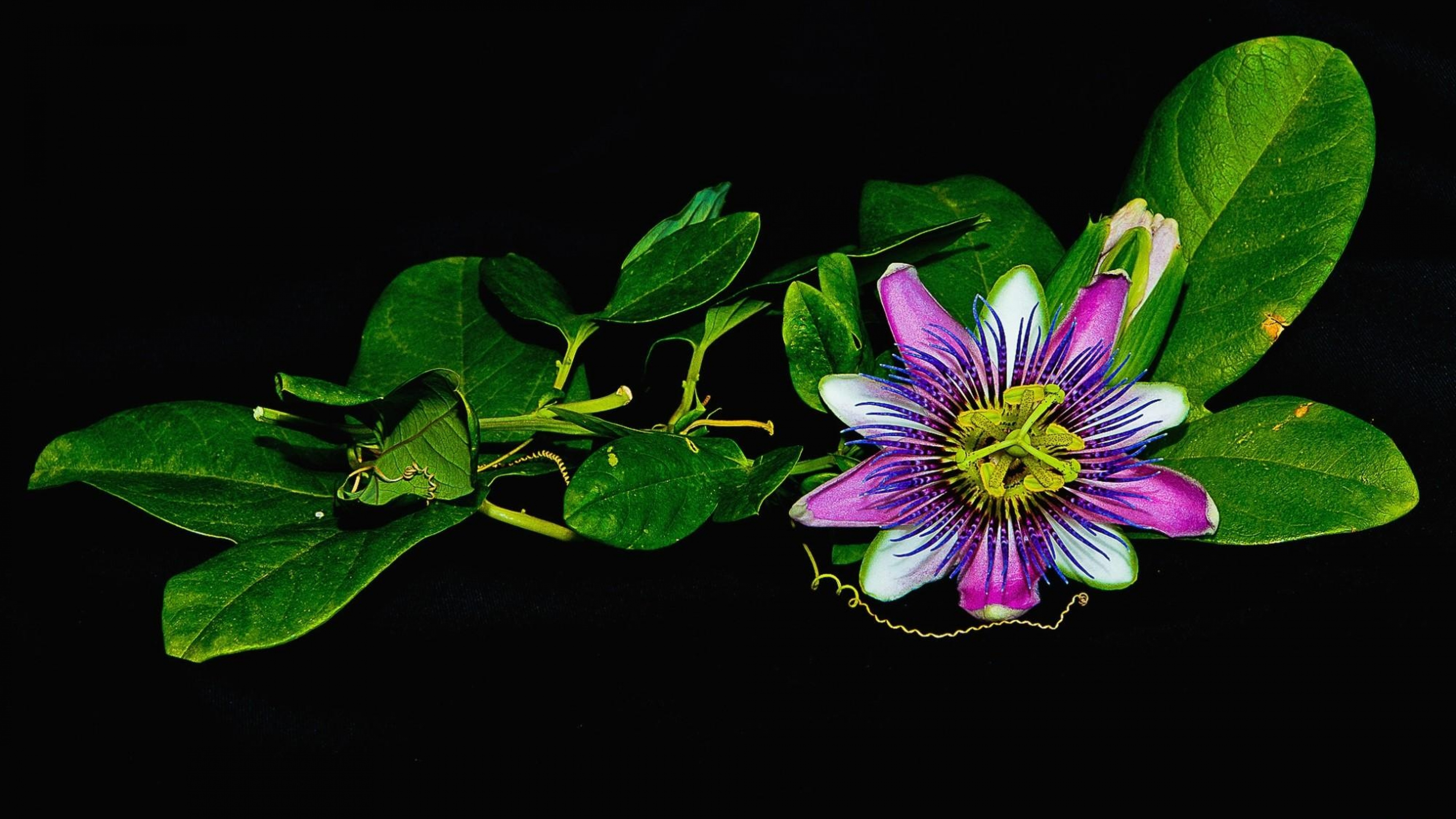 3840x2160 - Passion Flower Wallpapers 11