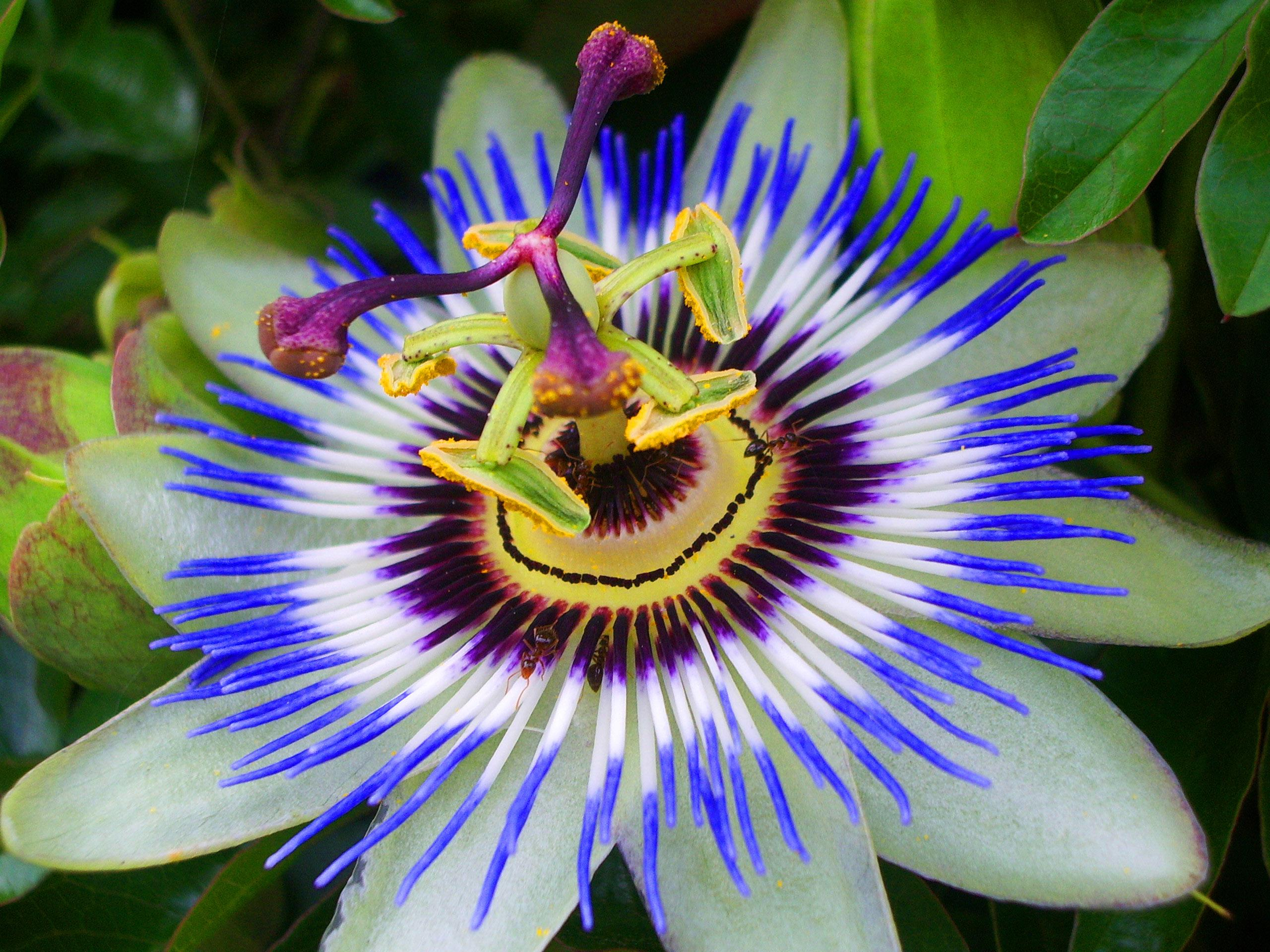 2560x1920 - Passion Flower Wallpapers 5