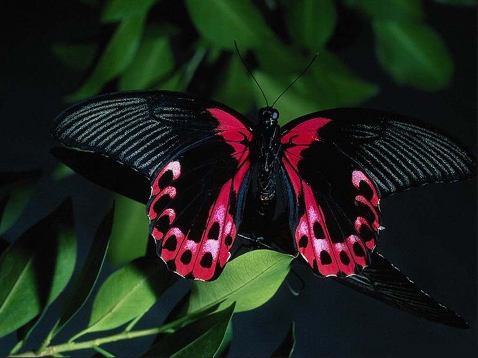 1600x1200 - Pretty Butterfly Backgrounds 30
