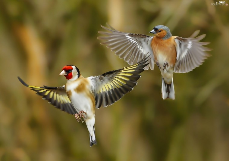 Goldfinch Wallpapers