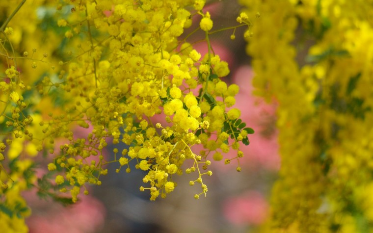 Golden Wattle Wallpapers