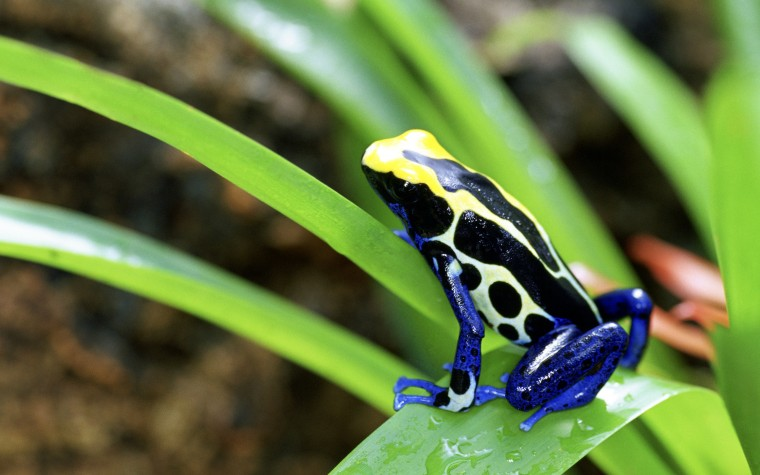 Poison dart frog Wallpapers
