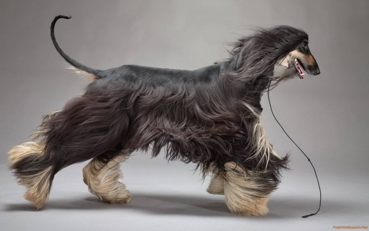 Afghan Hound Wallpapers