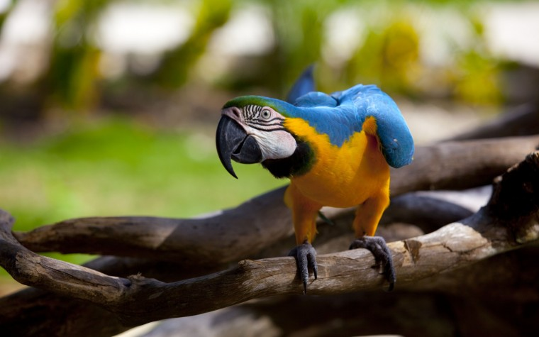 Blue-and-yellow Macaw Wallpapers