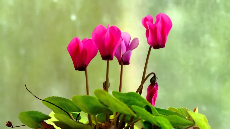 Cyclamen Wallpapers