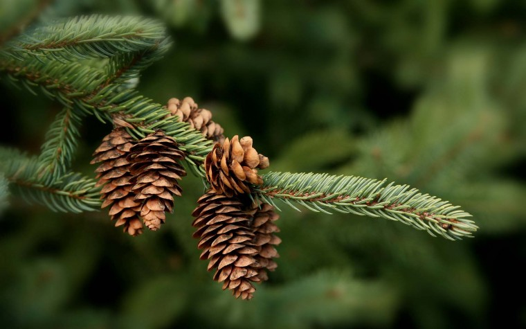 Pine Cone Wallpapers
