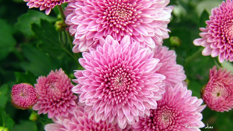 Chrysanthemum Wallpapers
