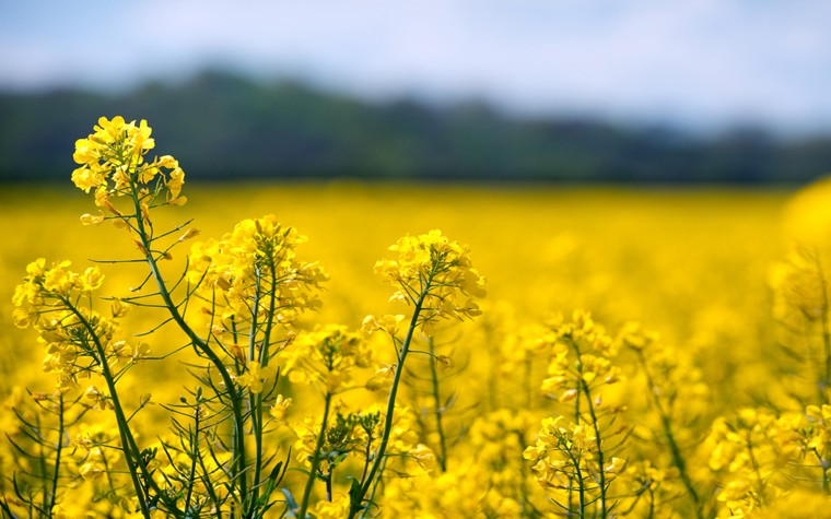 Rapeseed Wallpapers