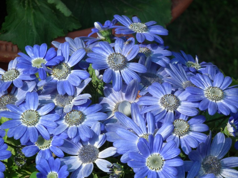 Cineraria Wallpapers