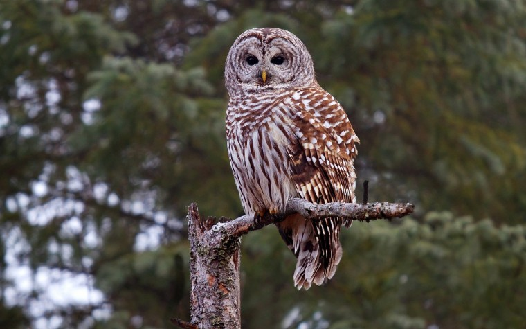 Barred Owl Wallpapers