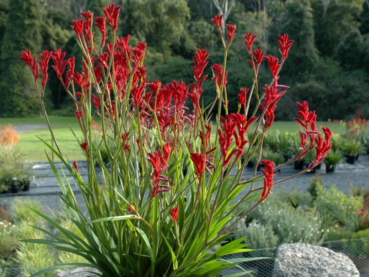 Kangaroo Paw Wallpapers