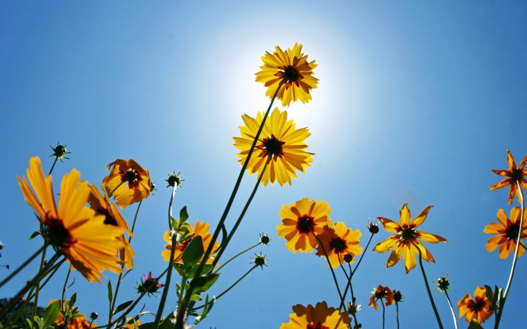 Black-Eyed Susan Wallpapers