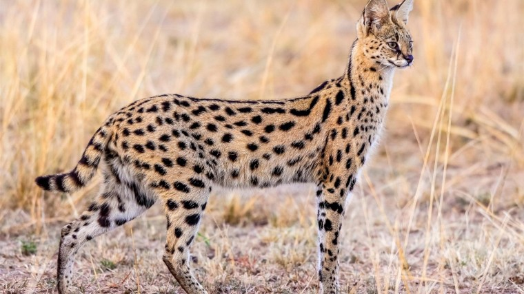 Serval Wallpapers