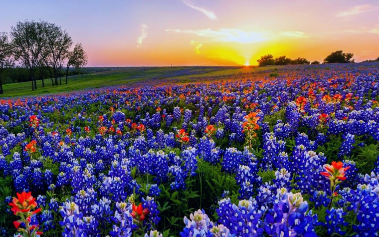 Texas Bluebonnets Wallpapers