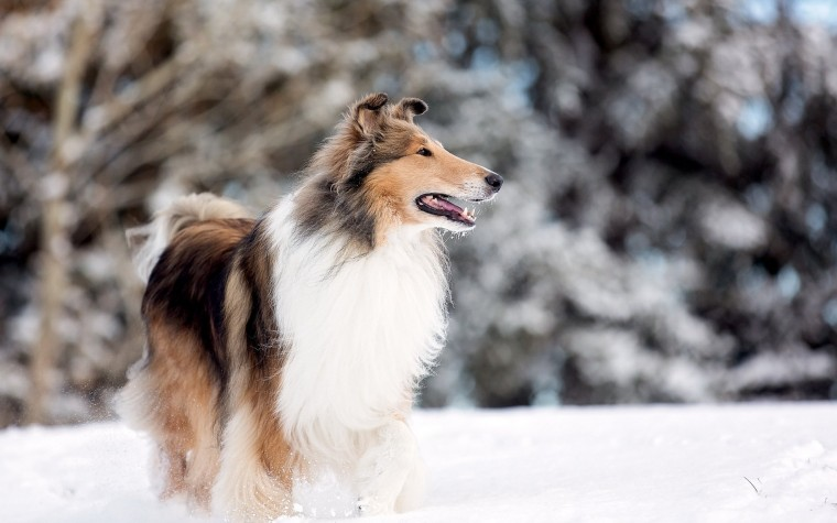 Rough Collie Wallpapers