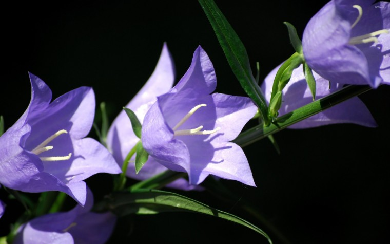 Bellflower Wallpapers