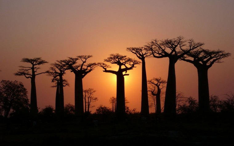 Baobab Tree Wallpapers