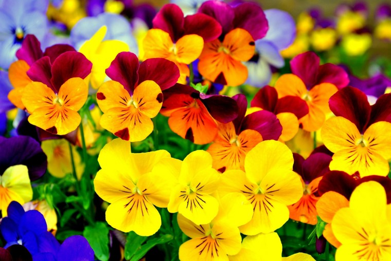 Pansy Wallpapers