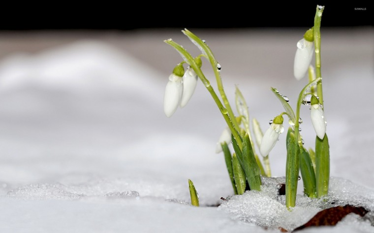 Snowdrop Wallpapers