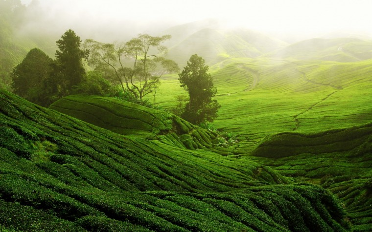 Tea Plantation Wallpapers