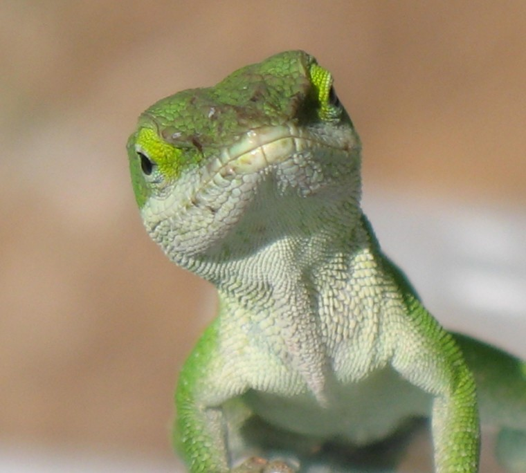 Green Anole Wallpapers