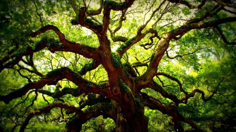 Oak Tree Wallpapers