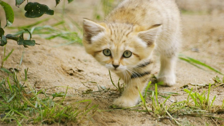 Sand Cat Wallpapers