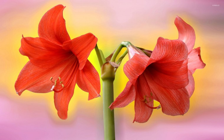 Amaryllis Wallpapers