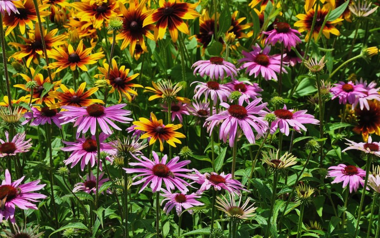 Coneflower Wallpapers