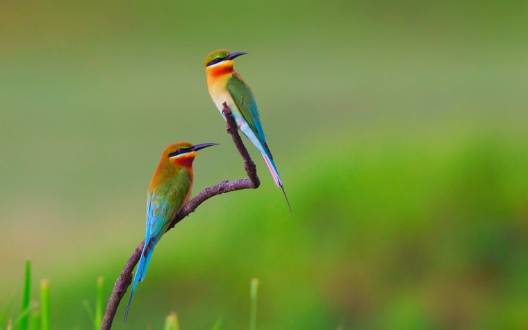 Bee-eater Wallpapers