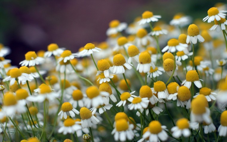 Camomile Wallpapers
