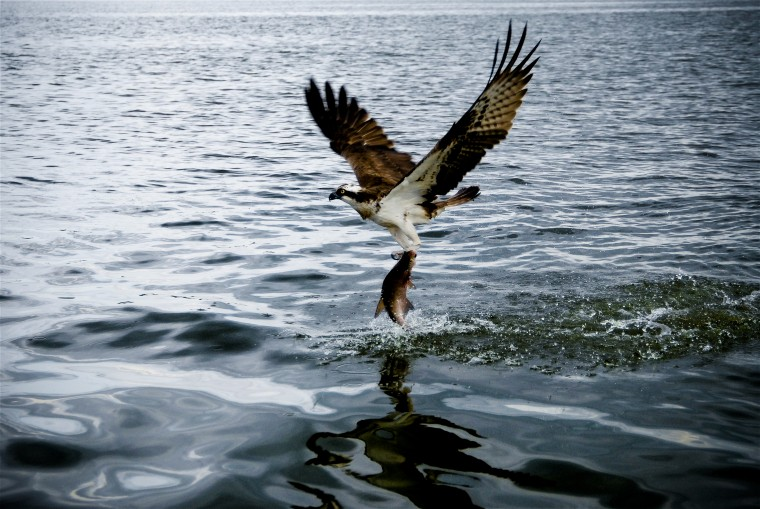 Osprey Wallpapers